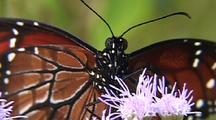 Queen (Danaus Gilippus) Close Up On Flower