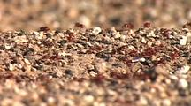Red Ant Colony, Streaming Out Of Burrow And Across Ground.