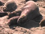 Northern Elephant Seal - Mirounga Angustirostris  Bull Resting With Cows On The Beach