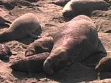 Northern Elephant Seal - Mirounga Angustirostris  Bull Mouthing Cows On The Beach