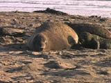 Northern Elephant Seal - Mirounga Angustirostris - Mom & Pup Resting In Sunset Light