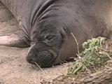 Northern Elephant Seal - Mirounga Angustirostris - Close Up Of Pups Face, Zoom Out To Reveal Body