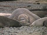 Northern Elephant Seal - Mirounga Angustirostris - Bull Sleps On Beach, Facing Camera