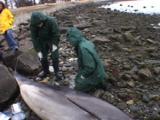 Necropsy - Bottlenose Dolphin Dead On Beach, Scientists Perform Beach Necropsy