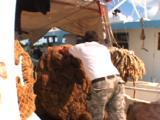 Tarpon Springs Florida - Sponge Fisherman Rolling Giant Ball Of Sponge Off Boat