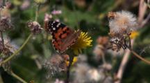 Hayama, Japan - A Painted Lady Butterfly (Vanessa Cardui) Feeds On A Dandelion Flower