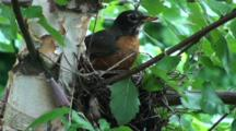 New England, A Robin Builds A Nest In A Birch Tree In Early Spring