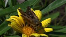 Miyake Jima, Japan - Skipper Butterbly On Flower, Close Up