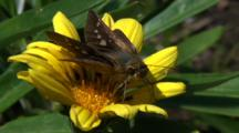 Miyake Jima, Japan - Skipper Butterfly On Flower, Close Up
