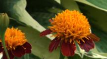 New England, Marigold Flowers In Early Spring, Close Up