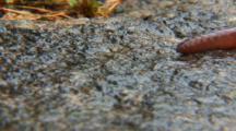 New England, Large Earthworm Crawls Through Frame On Wet Rock