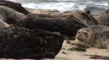 Harbor Seal (Phoca Vitulina) Resting On Beach, Head Up And Vigilant, Scratching, Waves In Background