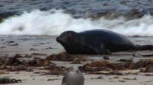 Harbor Seal (Phoca Vitulina) Gallumps Out Of Water, Gull On Beach