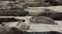 Harbor Seal (Phoca Vitulina) Group On Beach, Active Juvenile