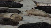 Harbor Seal (Phoca Vitulina) Group On Beach, Resting