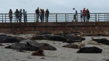Harbor Seal (Phoca Vitulina) Group On Beach, Resting, People On Swa Wall In The Background