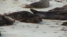 Harbor Seal (Phoca Vitulina) Group On Beach, Very Active Juvenile