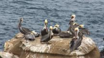 Brown Pelican, (Pelecanus Occidentalis) Group On Rock