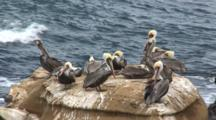 Brown Pelican, (Pelecanus Occidentalis) Group On Rock, Gull Enters Frame & Surf In Background