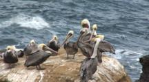 Brown Pelican, (Pelecanus Occidentalis) Group On Rock, One Tries To Dislodge Fish From Throat