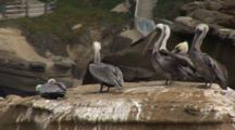 Brown Pelican, (Pelecanus Occidentalis) Group On Rock, Stairs & Structures In Background