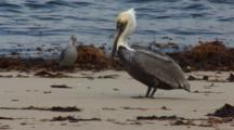 Brown Pelican, (Pelecanus Occidentalis) On Beach Walking Past Gulls