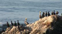 Brown Pelican, (Pelecanus Occidentalis) & Cormorant Group Share A Perch On Rock