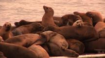 California Sealion (Zalophus Californianus), On Dock In Large Group, Biting At Each Other, One Animal Has Gill Net Around Neck, Very Warm Dusk Light