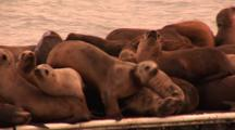 California Sealion (Zalophus Californianus), On Dock With Classic Gill Net Injury To Neck, Very Warm Dusk Light