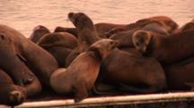 California Sealion (Zalophus Californianus), On Dock With Classic Gill Net Injury To Neck, Very Warm Dusk Light