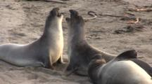 Elephant Seal (Mirounga Angustirostris) Juvenile Males Spar With One Another On Beach