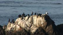 Cormorants Resting On Rocks In Large Colony