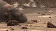 Northern Elephant (Mirounga Angustirostris) Close Up, Bull Resting Near Rocks & Ocean, Bull Sneezes & Chases Away Birds