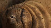 Northern Elephant (Mirounga Angustirostris) Close Up Of Nose & Chin, Flies Crawl On Fur