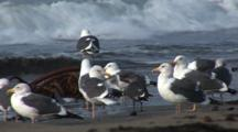 Western Gull (Larus Occidentalis) Flock On Beach, Some Fly,Nice Light, Ocean In Background