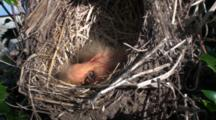 American Robin (Turdus Migratorius) Chicks, Freshly Hatched And In Nest, One With Head Up And Mouth Open