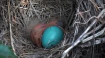 American Robin (Turdus Migratorius) Chick, Freshly Hatched In Nest With Another Egg Beginning To Hatch