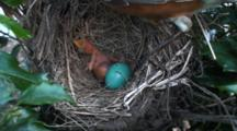 American Robin (Turdus Migratorius) Chick, Freshly Hatched In Nest With Another Egg Beginning To Hatch, Mom Shoves Big Bug In Chicks Mouth