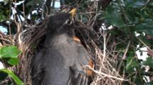 American Robin (Turdus Migratorius) Adult Mom Sitting On Nest