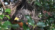 American Robin (Turdus Migratorius) Adult Mom Sitting On Nest Then Readjusts Her Two Eggs