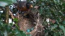 American Robin (Turdus Migratorius) Nest, With Two Blue Eggs, Mom Returns To Nest