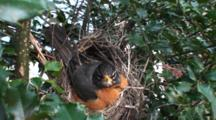 American Robin (Turdus Migratorius) Nest, With Mom Sitting On Eggs, Facing Camera