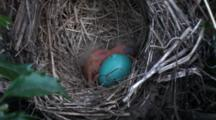 American Robin (Turdus Migratorius) Nest With 1 Chick & 1 Egg, Mom Lands On Nest
