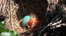 American Robin (Turdus Migratorius) Nest With 1 Chick & 1 Egg, Close Up