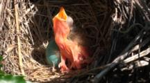 American Robin (Turdus Migratorius) Nest With 1 Chick & 1 Egg, Chick Has Mouth Open, Close Up