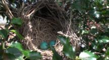 American Robin (Turdus Migratorius) Nest With Two Blue Eggs