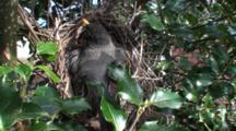 American Robin (Turdus Migratorius) Nest, Mom Sitting On Nest And Looknig About
