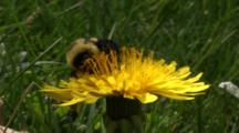 Bumble Bee Covered In Pollen, On Flower, Close Up, Shot Zooms In To Ultra Close Up As Bee Flies Away