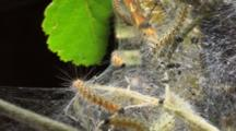 Fall Webworms (Hyphantria Cunea) Mill About On Birch Tree Inside Tent They Created