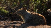 California Ground Squirrel, Otospermophilus Beecheyi Near Brush